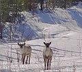 Caribou pair (6753209965).jpg
