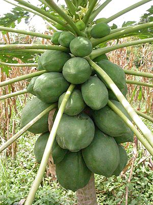 Fruiting papaya tree. Foto taken near Banfora,...