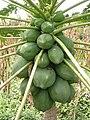 Le Papayer et la Papaye dans Fruits & Légumes du Pays