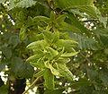 Carpinus betulus 04 ies.jpg