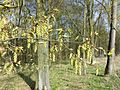 Carpinus betulus sl17.jpg