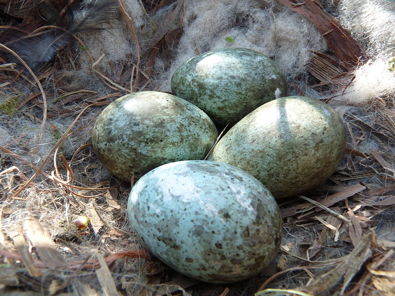 File:Carrion Crow Nest 17-04-10 (41.2 mm x 28.9 mm Egg Size) (4528585666).jpg