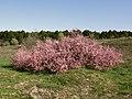 Cascada en rosa - Tamarix (17184688052).jpg