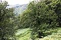 Castanea sativa - Äkta kastanj-2981 - Flickr - Ragnhild & Neil Crawford.jpg