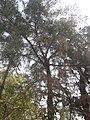 Casuarina equisetifolia at Akola3.jpg