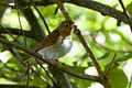 Catharus ustulatus, North Mountain Park, Ashland, Oregon 2.jpg