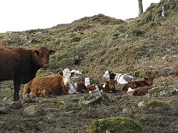 English: Cattle, Achranich
