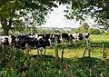 Cattle near Cheriton - geograph.org.uk - 947320.jpg
