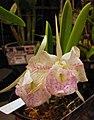 Cattleya Moscombe x Brassavola nodosa -香港沙田洋蘭展 Shatin Orchid Show, Hong Kong- (31132351060).jpg