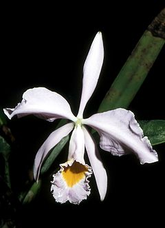 Cattleya wallisii.