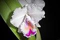 Cattleya quadricolor (38149184195).jpg