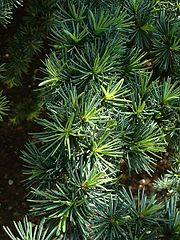 Foliage of Atlas Cedar