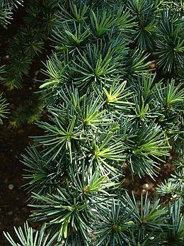 Sedir Ağaç Vikipedi