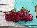 Celosia argentea var. cristata fleur Laos.jpg