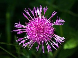 Centaurea jacea - Image: Centaurea jacea 01