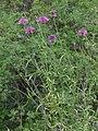 Centaurea scabiosa subsp grinensis RF.jpg