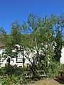 Centre nature de Colombes - Petit poivrier du Sechuan 1.jpg