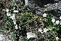 Cerastium arvense (Caryophyllaceae) (33165307711).jpg