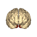 Cerebrum - occipital lobe - anterior view.png