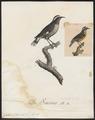 Certhiola flaveola - 1802 - Print - Iconographia Zoologica - Special Collections University of Amsterdam - UBA01 IZ19000433.tif