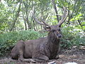 Cervus unicolor (Sambar deer) at deer park1.jpg