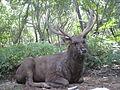 Cervus unicolor (Sambar deer) at deer park1.jpg