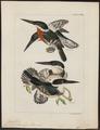 Ceryle americana - 1820-1863 - Print - Iconographia Zoologica - Special Collections University of Amsterdam - UBA01 IZ16800271.tif