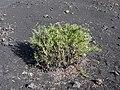 Chã das Caldeiras-Periploca laevigata subsp. chevalieri (1).jpg