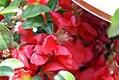 Chaenomeles japonica Texas Scarlet 1zz.jpg