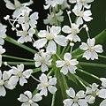 Chaerophyllum hirsutum 2 RF.jpg