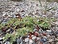 Chamaesyce serpyllifolia (5143715015).jpg