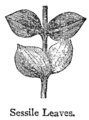Chambers 1908 Sessile Leaves.png