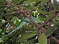 Chameleon Madagascar.jpg