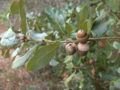 Chapman-Oak-acorns (5593255049).png