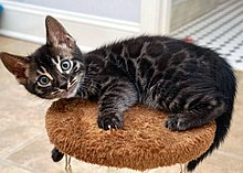 7552ed47 Bengal cat - Wikipedia