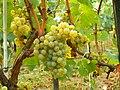 Chardonnay Moldova.JPG