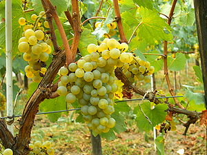 Auxey-Duresses wine - Chardonnay is the primary grape for the white wines of Auxey-Duresses