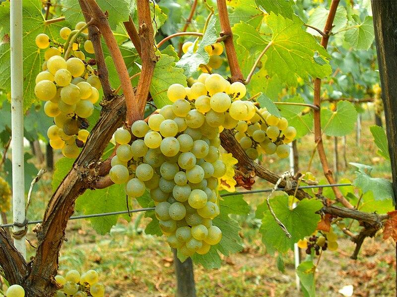 http://upload.wikimedia.org/wikipedia/commons/thumb/0/06/Chardonnay_Moldova.JPG/800px-Chardonnay_Moldova.JPG