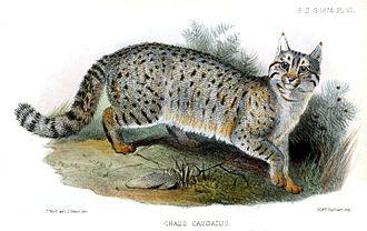Jungle cat - An 1874 illustration of the jungle cat