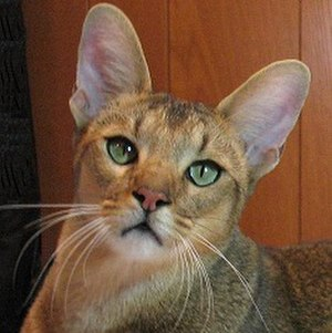 Chausie - Chausie with nearly perfect head conformation.