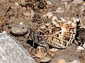 Chazara persephone - Dark Rockbrown butterfly.jpg