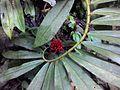 Cheilocostus speciosus spirally arranged leaves.jpg