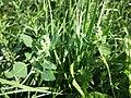 Chenopodium vulvaria sl67.jpg