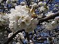 Cherry blossoms (3426790003).jpg