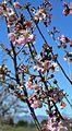 Cherry blossoms Lake Balboa (20140330-0339).JPG