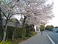 Cherry blossoms in NihondairaPA.JPG