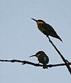 Chestnut-headed Bee-eater (Merops leschenaulti) in Kinnarsani WS, AP W IMG 6163.jpg