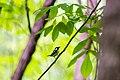 Chestnut-sided warbler (26132127113).jpg