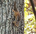 Chipmunk on tree giving warning (22084880362).jpg