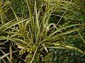 Chlorophytum comosum (6367546261).jpg